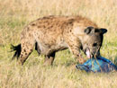 "Bizarre twist to ""missing hyenas"""