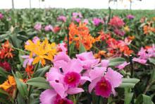 Duckitt's orchids