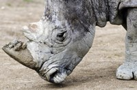 Nambiti Private Game Reserve's rhinos dehorned