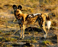 Painted wolves are by far the most endangered large mammal in South Africa – there are less than 400 wild dogs remaining in the wild in South Africa.