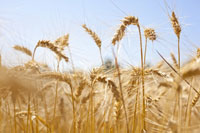 SA Grains: Grains up on CBoT and rain concerns