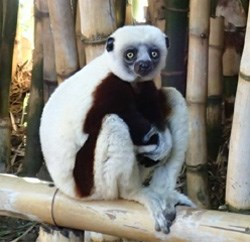 What Madagascar is famous for... lemurs.