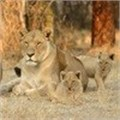 Canned hunting cannot be acceptable