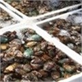 Aquaculture research collaboration responds to real challenges facing abalone farmers