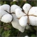Genetically modified cotton in Africa will harm, not help, smallholder farmers