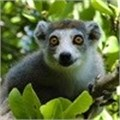 Why haven't Madagascar's famed lemurs been saved yet?