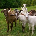 India's goat sellers flock to Internet this Eid