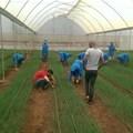 Chives open up export market for Nakuru farmers