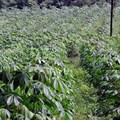 sarangib via pixabay - Cassava crop