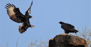 Steve Garvie via Wikimedia Commons - Verreaux's Eagle pair