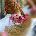 Call for steps against duty-free European chicken