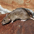 Rentokil offers expert advice on rodent control after plague-infected rat found in Tembisa rubbish dump