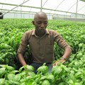 Simon Andys, founder of Premier Seeds, inspects basil in one of the greenhouses.