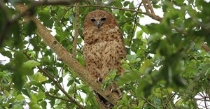 Derek Keats via Wikimedia Commons - Pel's Fishing Owl