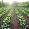 Is food security and tobacco growing incompatible in Africa?