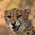 Cheetah Centre