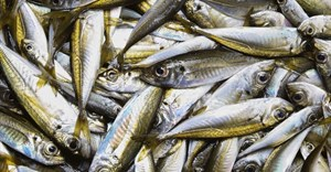 Caution urged over horse mackerel quota