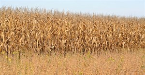 Maize crop estimate rises slightly