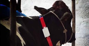 Fitbit for cows: helping dairy farms get into shape