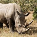 Zimbabwe dehorns rhinos to curb poaching