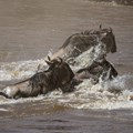Wildebeest crossing the Mara River in Kenya's Masai Mara National Reserve. Image: Stuart Price