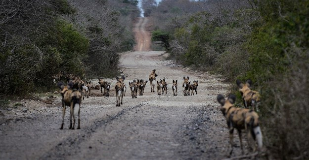 iSimangaliso's wild cat and dog population gets a boost