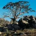 Clanwilliam cedar could be extinct within the 21st century