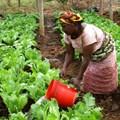 USAID via  - Woman watering crops in Morogoro, Tanzania