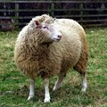 Dolly the Sheep -