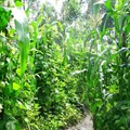 AnnaJB via  - Intercropping maize and beans