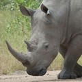 Could proposed rhino horn legislation save rhinos?