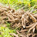 Improving cassava production in Nigeria through sustainable seed systems