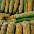 Solid maize export programme critical to restoring maize price