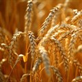 BNI trait could improve nitrogen-efficiency of crops