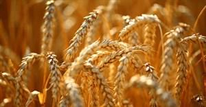 BNI trait could improve nitrogen-efficiency of crops
