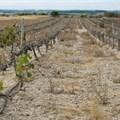MEC: Drought already cost Western Cape grape farmers R500 million