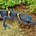 The beautiful Chinese cave gecko, or Goniurosaurus luii, is highly prized by poachers. Carola Jucknies