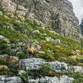 Exotic goats back on Table Mountain