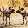 Wild dogs dying from climate change