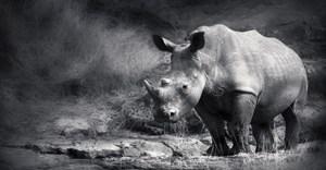 Woman held at SA airport for rhino horn smuggling