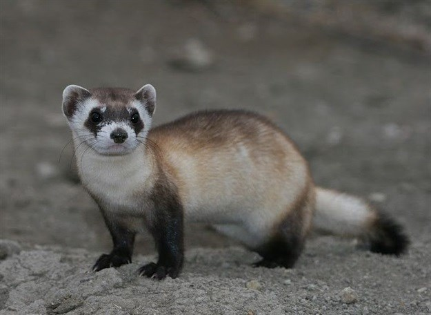 Black-footed Ferret by USFWS Mountain Prairie –