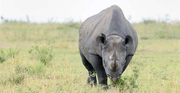 Rhino horn auction opens in S. Africa amid controversy
