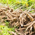 Scientists make breakthrough in fight against cassava diseases