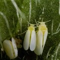 Stephen Ausmus via  - Bemisia tabaci, Africa's main cassava insect pest