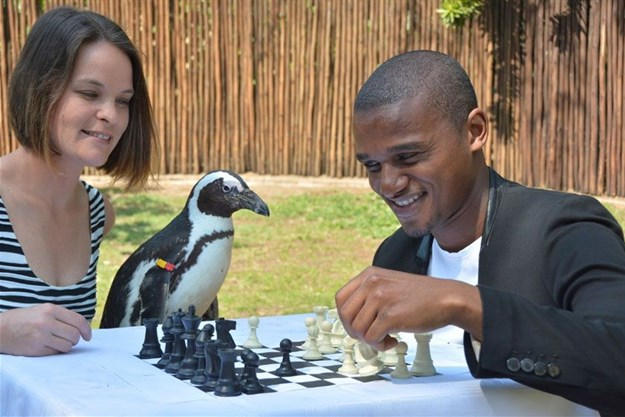 """Did you say 'prawn' or 'pawn'?"" questions Nemo, the African penguin, as he looks on with interest at the chess game between Farrell van den Heever and Ndumiso Miya."