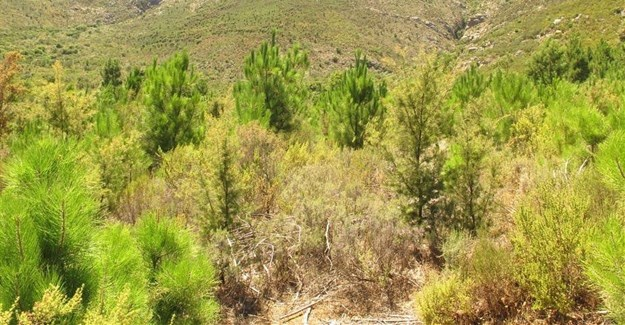 Invasive pine trees in the Western Cape have affected lizards causing their numbers to drop significantly. Author supplied