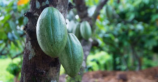 Chocolate industry driving deforestation of Ivory Coast: report