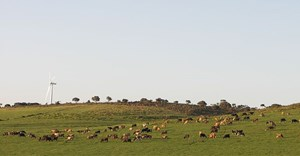 NJR ZA via  - cattle grazing on Jeffreys Bay wind farm