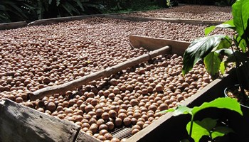 Could macadamia nuts be the dark horse in SA agriculture?