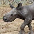 Hong Kong-based airline adopts baby rhino in support of Investec Rhino Lifeline project